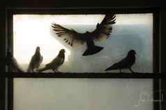Mohsins Pigeons-146 (bigdaddy.khan) Tags: pakistan blackandwhite bw birds silhouette backlight artistic pigeons dirtywindow islamabad