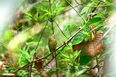 Panamanian bird (Luis Eduardo ) Tags: park bird nature panama wilderness metropolitan luismosquera