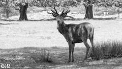 Stag in black and white (claudy75) Tags: uk animals mono stag wildlife deer reddeer richmondpark londonparks londonwildlife