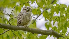 Barred Owl (Strix varia) (ER Post) Tags: holland bird us unitedstates michigan owl barredowlstrixvaria