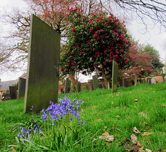 Cemetery flora (DncnH) Tags: nottingham blue red cemetery graveyard spring rhododendron gravestone bluebell generalcemetery