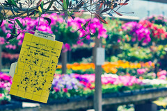 Bugged by the Government (CarbonNYC [in SF!]) Tags: yellow words colorful bokeh sticky text nursery bugs hanging trap donotdisturb carmelvalley deadbugs govenment insecttrap stickytrap hangingtrap governmentissued