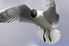 Kokmeeuw (judithvanagthoven) Tags: nature birds terschelling canon nederland vogels natuur april dieren meeuwen kokmeeuw kokmeeuwen sigma150500mm 7dmarkii