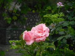 (Psinthos.Net) Tags: flowers roses water leaves rain drops spring pavement blossoms may raindrops greenery noon raining rosebush rainingday paved pinkroses  pinkblossoms     vrisi   psinthos                vrisiarea     vrisipsinthos