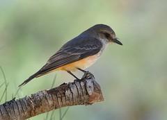 Vermilion Flycatcher, Pyrocephalus rubinus (Dave Beaudette) Tags: arizona birds tucson vermilionflycatcher reidpark pyrocephalusrubinus pimacounty