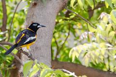 Icterus icterus (Troupial) (caropho) Tags: birds canon colorful outdoor wildlife curaao icterus lagun troupial