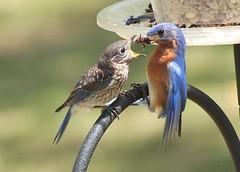 Parental Duties (hennessy.barb) Tags: bird feeding parent hungry bluebird fledgling easternbluebird babybluebird fledglingbluebird