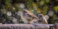 (115/16) Esperando turno para la ducha (Pablo Arias) Tags: madrid espaa naturaleza nature photoshop spain aves pjaros hdr texturas gorrin photomatix nx2 pabloarias