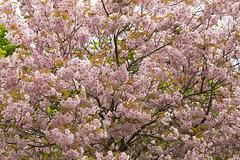 Cherry blossom (hkkbs) Tags: cherry sweden cherryblossom sverige westcoast körsbärsblom västkusten körsbär nikond800 bjurslätt tamronsp2470mmf28divcusd
