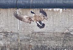 Goose (joeldinda) Tags: vacation bird up june geese nikon lock michigan goose greatlakes soo upperpeninsula saultstemarie sault soolocks d300 2016 3148 nikond300