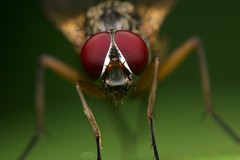 Portrait of a House Fly (Douglas Heusser) Tags: red macro nature canon insect photography fly photo compound wings eyes wildlife flash tubes extension spark diffuser arthropod kenko uplose heusset graslon