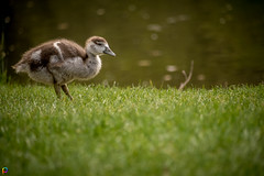 Alone - Egyptian Goslings (JTPhotography) Tags: baby cute bird animal germany spring sweet frankfurt wildlife goose egyptian gosling niedlich gnsekken kken ss nilgans panasonic45200mm panasoniclumixg6