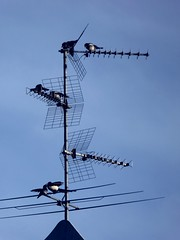 "Mom we're ""ON AIR"" !!!   :)) (carlo612001) Tags: bird broadcast birds air antenna gazza"