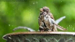 Towel Please (DSC07224) (Michael.Lee.Pics.NYC) Tags: newyork bird wet birdbath bokeh centralpark sony sparrow waterdrops conservatorygarden burnettfountain a7rm2 fe70300mmg