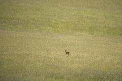 Deer in the Grasses (stevedewey2000) Tags: landscape salisburyplain wiltshire 32 animal deer roedeer minimal minimalism minimalist tamron150600