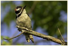 downy woodpecker (Christian Hunold) Tags: bird philadelphia woodpecker downywoodpecker songbird johnheinznwr christianhunold