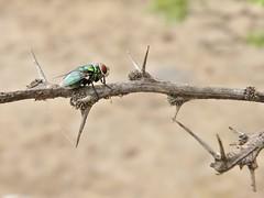 Chrysomya rufifacies (carlos mancilla) Tags: insectos flies moscas chrysomyarufifacies olympussp570uz