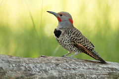 Male Northern Flicker (Canon Queen Rocks (980,000 + views)) Tags: wild tree cute male nature birds wings colours wildlife beak bark reds markings northernflicker