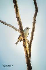 Quem v passarinho azul? (@fisiotur) Tags: trees nature birds natureza 100mm pssaros rvores esmeraldas passarinhos canon100mm horadourada