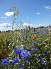 blue (jusan) Tags: cornflowers