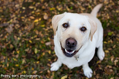 That time it was our 100th. (floppyearsphotography) Tags: milestone 100 celebrate leaves dog labrador winter happy petphotography maverickmonday 52weeks