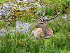 'Chillaxing' (Highlandscape) Tags: red nature fur mammal scotland countryside natural outdoor mark wildlife places olympus glen deer antlers highland ii reddeer markii cervus cervuselaphus mullardoch elaphus em5 cannich glencannich httphighlandscapezenfoliocom olympusem5markii