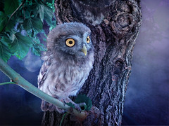 IMG_5093 always in my heart (pinktigger) Tags: owl owlet bird nature violet purple outdoor minnie ruby10