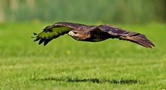 Common Buzzard - Low and fast !! (Mid Glam Sam1) Tags: inflight hawk low raptor buzzard captive birdofprey newent commonbuzzard