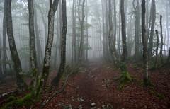 Orixolen (Paulo Etxeberria) Tags: fog camino path niebla brouillard chemin oriol bidea lainoa hayedo orisol pagadia beechforest orixol htraie