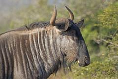 Blue Wildebeest- Kruger National Park, South Africa (wsweet321) Tags: africa bird nature southafrica mammal birding safari research endangered krugernationalpark kruger satara savanna bigfive skukuza knp lowersabie