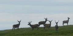 Deer Silhouette, Uig, Isle of Lewis, June 2016 (allanmaciver) Tags: deer uig lewis western isles silhouette watch admire enjoy proud curious antlers allanmaciver