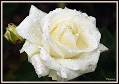 _JVA6901 (mrjean.eu) Tags: park pink flowers blue roses white france flower macro fleur rose yellow fleurs garden nikon jardin botanic lorraine botanique parc metz 105mmf28