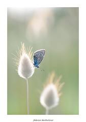 Argus .......... (bertholino fabrice) Tags: macro nature papillon proxy argus environnement pi macrophotographie biodiversit nikond600 capturenx2 sigma105macrooshsm fabricebertholino