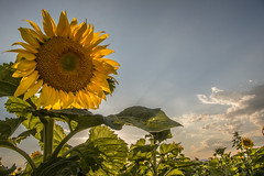 Basking in the Sun (beatriceverez) Tags: sunflower evening ray light nature
