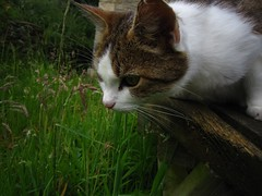 Watchful. (Pagynwb) Tags: wood pet cats pets cute nature grass animal animals cat bench nose eyes sweet wildlife hunting adorable ears whiskers whisker ear hunt whisk