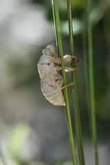 Mue de Cigale - Lyristes plebejus, la Cigale plbienne (Vronique Delaux On/Off) Tags: cigale mue insecte sud soleil france hrault membrane carapace