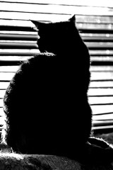 Little man silhouette (PDKImages) Tags: pet cute animal cat nose eyes furry doll fluffy whiskers domestic puss rag pussycat ragdoll moggy househould