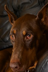 DKH_2968 (Dober Man) Tags: canine boyo dobermann doberman pooch mutt pincsher dog afsnikkor24120mmf4gedvr