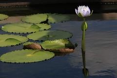 Canon212258 (godrudy6661) Tags: flower neworleans waterlillies noma citypark neworleansmuseumofart