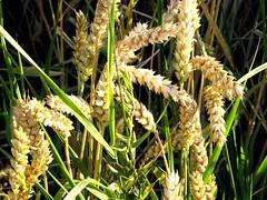 Das ist ein köstlich Ding, nach Sonne gehn (amras_de) Tags: cereal rye rug kar korn segal seagal cerial vilja rozs ruis getreide roggen graan cereali labiba rogge gabona seigle céréale çavdar secalecereale cereale secara žito centeio råg tahil frumentum greno zboza sädesslag javai raž rukis rž dyrketrug teravili sègol sekalo žitarice rudzi arbhar zereal obilniny cereala ciriali žitoseté almindeligrug zekale rúgur sejamasisrugys zytozwyczajne ražsiata