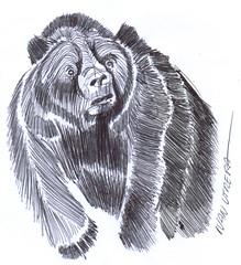 oso a lapicero (ivanutrera) Tags: oso draw dibujo drawing dibujoalapicero dibujoenboligrafo boligrafo lapicero pen bear sketch sketching ilustracion wild wildlife