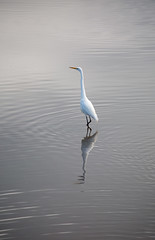 silence (keith midson) Tags: white water still tranquil bird waterbird legana wetlands launceston tasmania egret