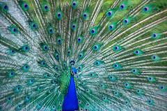 Beautiful blue peacock in a public park in Madrid (II) (basair) Tags: madrid park blue portrait green bird animal proud tail peacock retiro