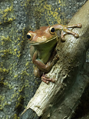 Here's Looking at You (brentflynn76) Tags: frog amphibian animal nature fauna portrait aquarium cute