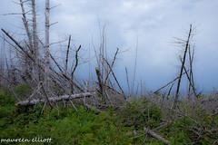 Broken (maureen.elliott) Tags: trees broken deadtrees treetrunks skies quebec softfocus gapse outdoors nature