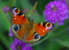 Peacock (Inachis io) (markhortonphotography) Tags: lepidoptery vibrant surrey verbenarigida macro purple markhortonphotography nature flower thatmacroguy colourful butterfly insect peacock inachisio invertebrate