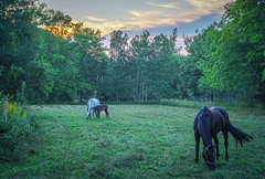 And baby makes three (sarahlynn.hansen) Tags: horse foal novascotia field meadow green grazing equine mare gelding trees tail halter sunset