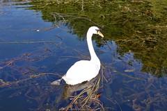 Schwan im Villenhofer Maar (mama knipst!) Tags: schwan swan vogel bird villenhofermaar wasser natur sommer summer
