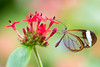 Butterfly (John P Norton) Tags: butterfly closeup flora flower insect macro copyright2016johnnorton f40 nikond750 11250sec tamronsp90mmf28divcusdmacro11f004n focallength90mm shutterpriority glasswing