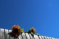 I girasoli (meghimeg) Tags: 2016 glorenza girasole estate staccionata fence hff cielo sky azzurro blu blue fiori flowers